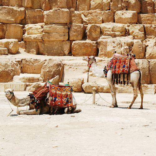 Camels Tied Up Against Rocks