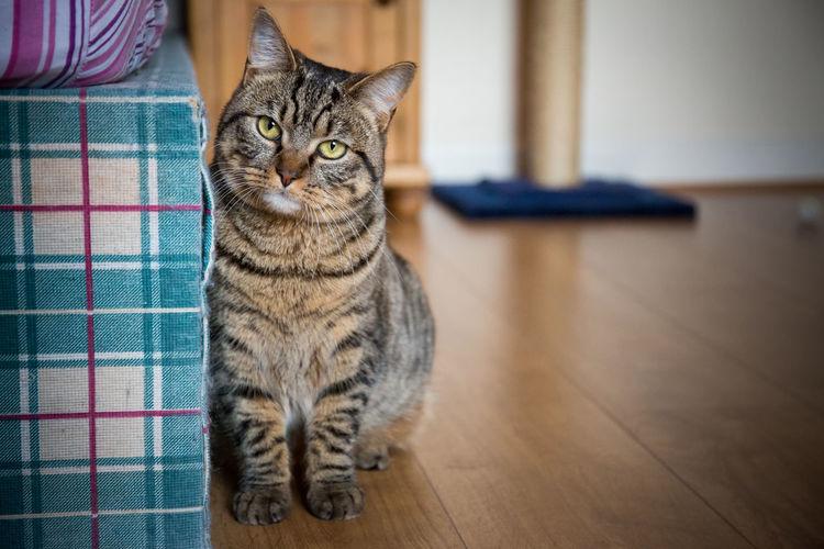 Portrait of cat sitting on hardwood floor at home