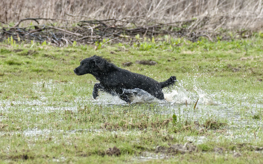 Cocker Spaniel  Dog Having Fun Dog In Water Dog Photographer Dog Photography Dogs Dogs Dogs Gundogs No People One Animal Outdoors Taking Pictures Working Dogs