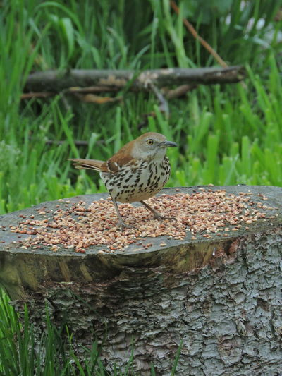 Brown Thrasher Animal Animal Themes Animals In The Wild Animal Wildlife One Animal Vertebrate Bird Perching Day Tree Nature Focus On Foreground No People Plant Wood - Material Outdoors Tree Trunk Close-up Trunk Sparrow