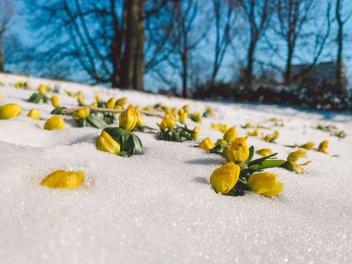 Close-up of yellow flowering plant in snow