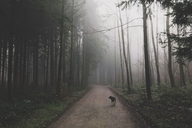 Dog On Footpath In The Forest