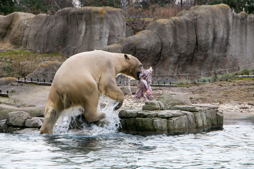 Polar Bear Animal One Animal Splashing Water Dripping Animal Themes Prey Food Zoo Zoo Animals  Zoo Photography  Blijdorp Rotterdam No People Mammal Predator