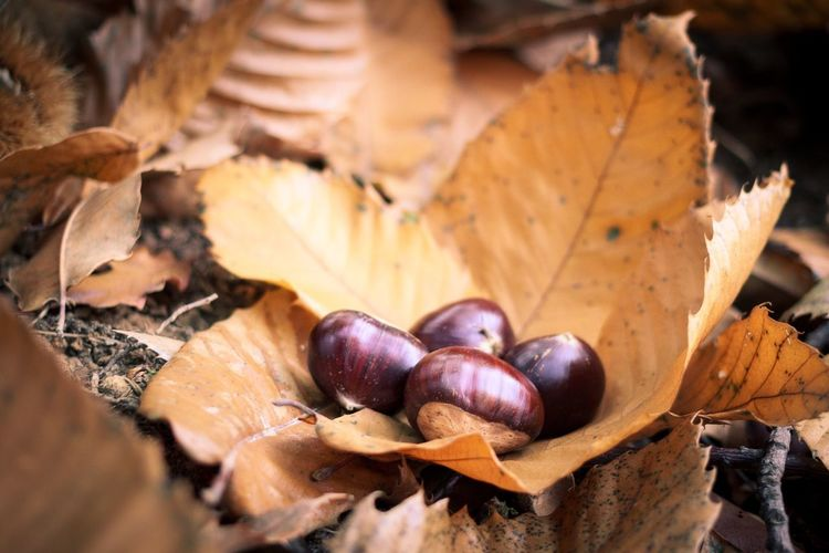 Close-up of chestnuts on dry leaf during autumn