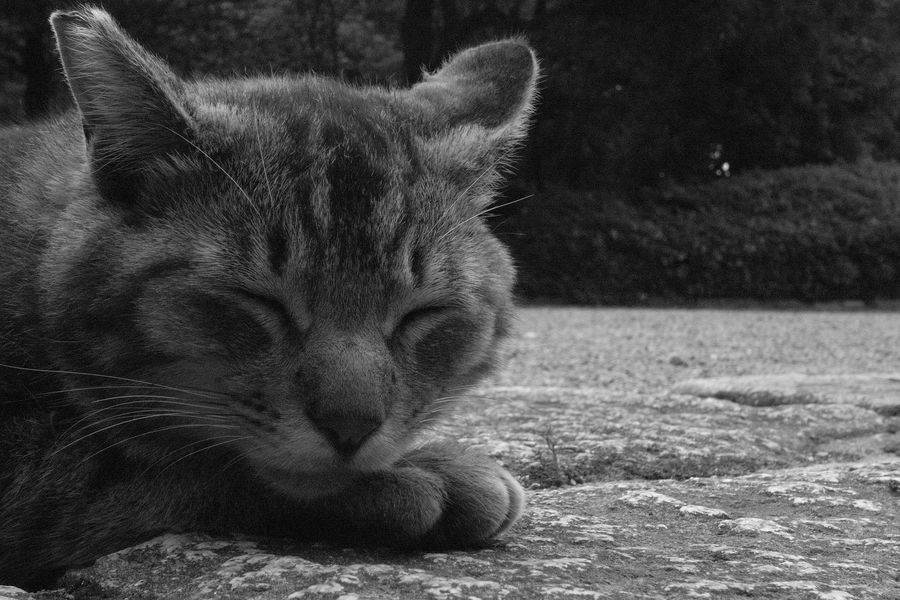 RICOH GX100 Ricoh GX100 猫 野良猫 Blackandwhite B&w 白黒 モノクロ Cat Ricoh Pets Portrait Domestic Cat Feline Close-up