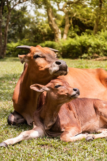 Mother red cow