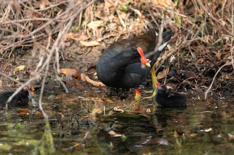 Black swan drinking water in a lake
