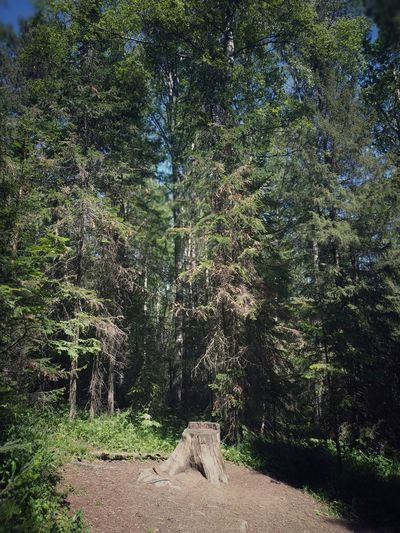 Taganay Park People Sunny Day Summer Summertime Countryside Walking Taganay Forest Dark Dense Landscape Nature Outside Tree Tree Trunk Fur Tree Russia South Ural