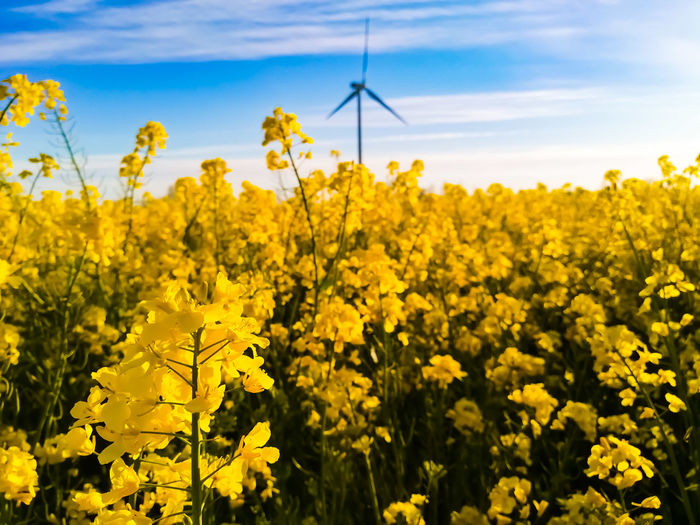 Scenic view of oilseed rape field against sky with wind turbine in the background