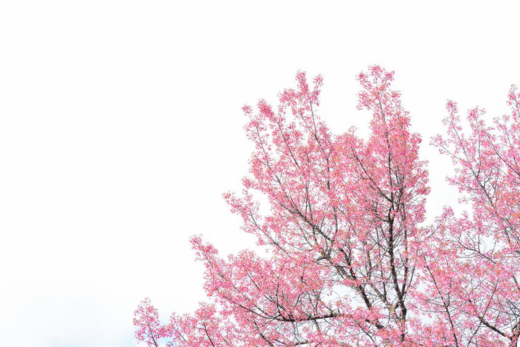 Cherry Blossoms Chiang Mai | Thailand Doi Angkhang Japan Sakura Beauty In Nature Blossom Blossoms  Branch Clear Sky Flower Fragility Freshness Growth Landscape Low Angle View Nature Outdoors Pink Color Pink Flower Sky Springtime Tranquility Tree White Background