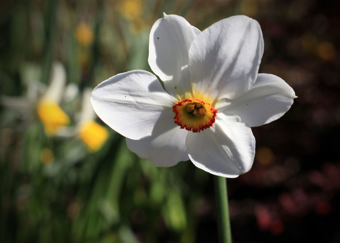 Daffodil Beauty In Nature Close-up Day Flower Flower Head Focus On Foreground Fragility Freshness Growth Nature No People Outdoors Petal Plant Pollen Spring Flowers Springtime