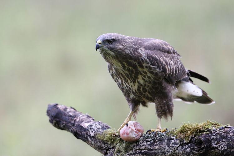 A juvenile common buzzard up close