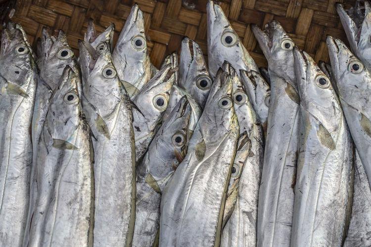 Vertebrate Fish