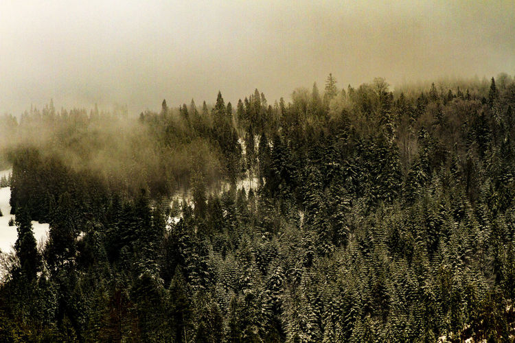 Tree Plant Tranquility Tranquil Scene Beauty In Nature Growth Forest Scenics - Nature No People Sky Land Fog Day Nature Non-urban Scene Environment Outdoors WoodLand Landscape Coniferous Tree Hazy