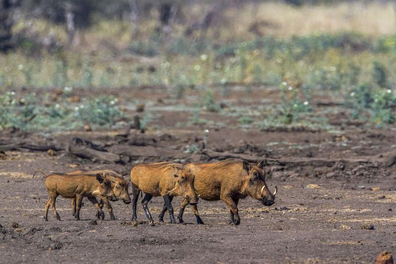 Warthogs walking on land