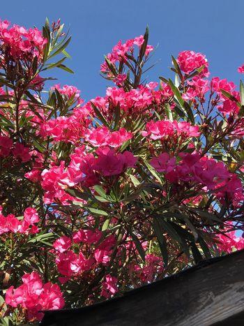Oleander Plant Pink Color Flower