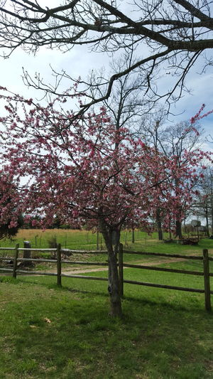 Showcase April My Crabapple Tree In The Front Yard