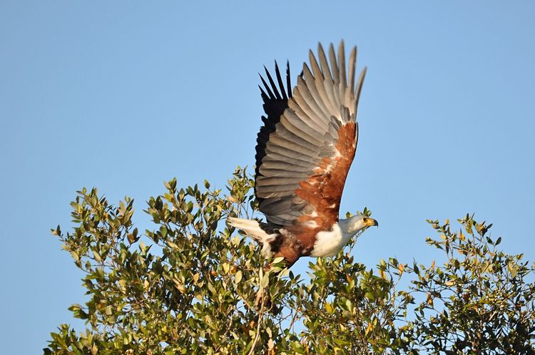 African Fish Eagle One Animal Animal Wildlife Animals In The Wild Animal Animal Themes Nature Bird No People Day Blue Outdoors Bird Of Prey Clear Sky Sky Spread Wings Beauty In Nature Close-up Sea Life Eagle African Fish Eagle Eagle In Flight Taking Off Spreading Wings Safari Raptor