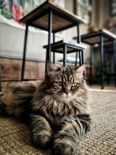 Cat Cat Tabby