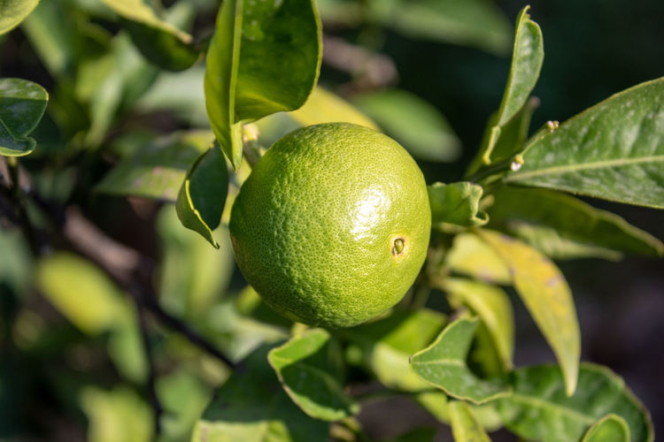 A green lemon in his tree