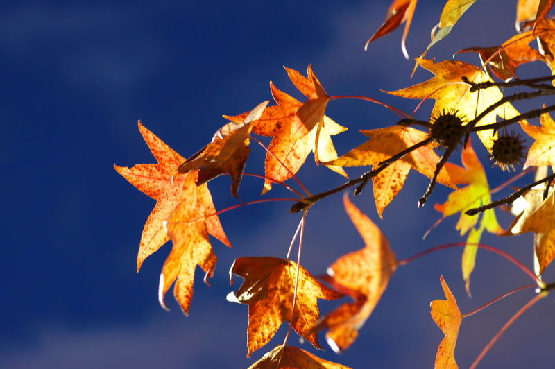 Plant Part Leaf Autumn Change Nature Plant Sky Close-up Beauty In Nature No People Orange Color Focus On Foreground Day Branch Vulnerability  Maple Leaf Fragility Leaves Outdoors Growth Natural Condition