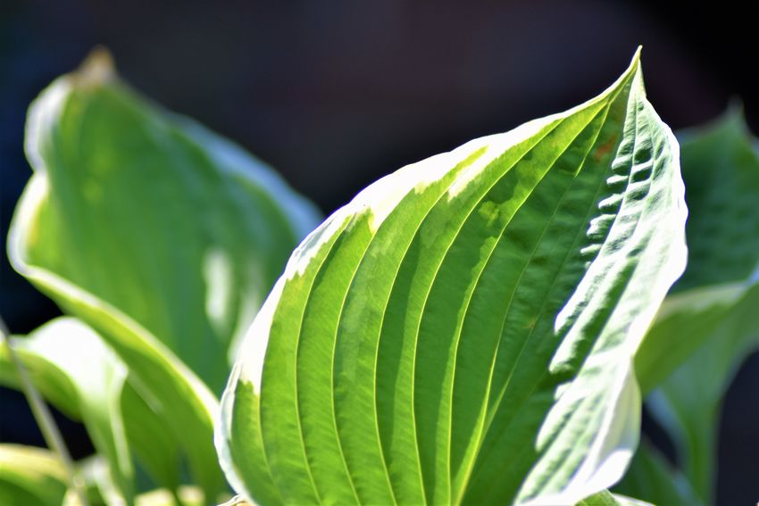 Veins In Leaves Beauty In Nature Close-up Day Focus On Foreground Freshness Green And Cream Colour Green Color Growth Hostas Leaf Leaves Light And Shadow Nature No People Outdoors Plant Plant Part Pointed Leaves Selective Focus Single Object Sunlight