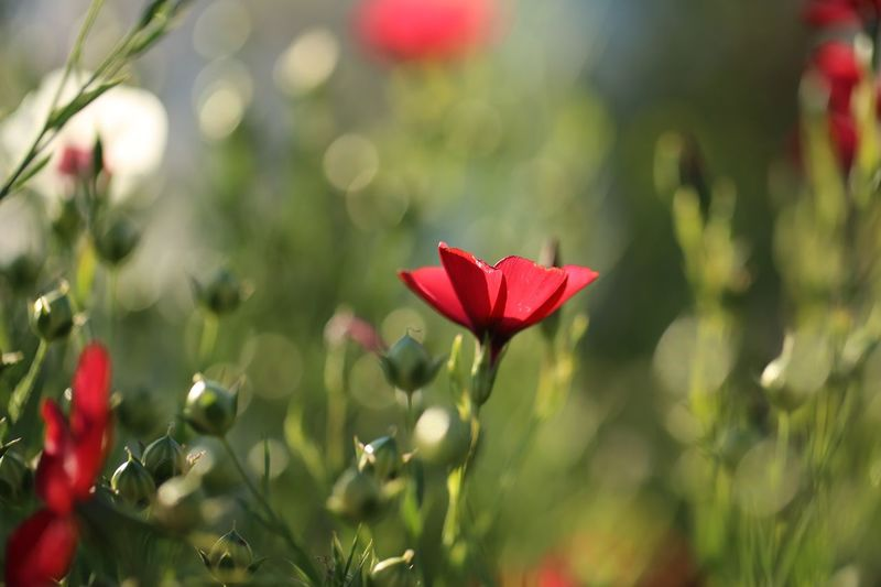 Red Plant Flower Flowering Plant Beauty In Nature Freshness Focus On Foreground Vulnerability  Growth Petal No People Close-up Fragility Nature Day Flower Head Green Color Inflorescence Sunlight Outdoors