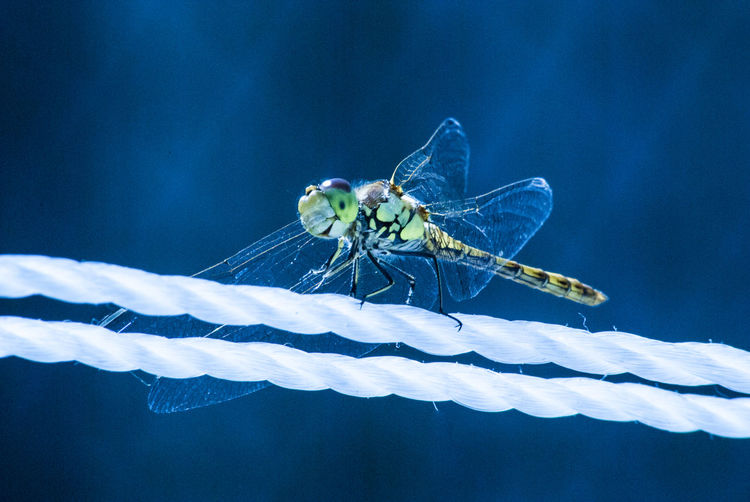 Close-up of damselfly on blue leaf