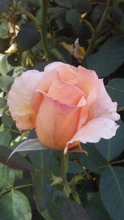 Flower Close-up Petal Pink Blossom Rose🌹 Freshness Single Flower In Bloom Botany Vibrant Color Softness Boulder Check This Out