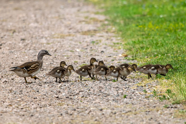 Female mandarin duck, aix galericulata, with ducklings