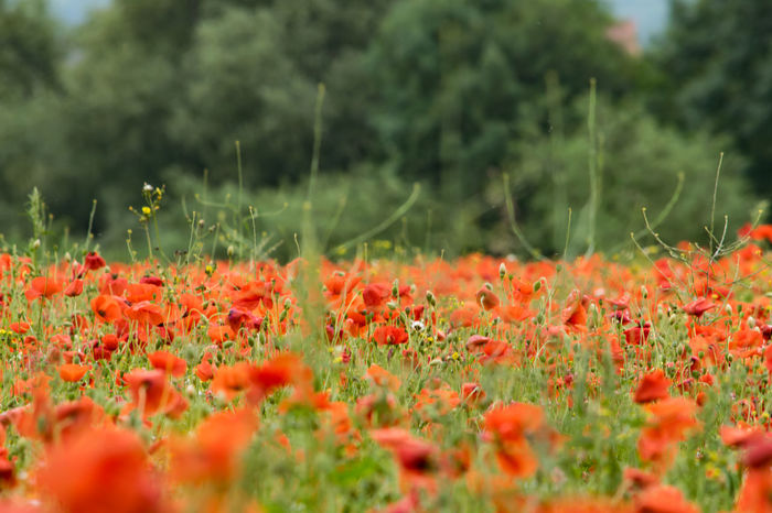 Poppies in a field. Field Field Of Flowers Fields Fieldscape Flower Flower Collection Flowers Nature Poppies  Poppies Field Poppies In Bloom Poppy Poppy Field Poppy Fields Poppy Flower Poppy Flowers Red Red Flower Red Flowers Outdoors Blooming No People Plant Beauty In Nature Poppies