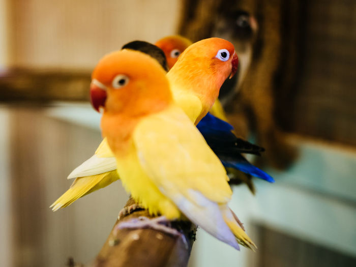 Love Birds closeup with selective focus on background. Agapornis, Animals, Background, Beautiful, Birds, Closeup, Color, Colorful, Couple, Domestic, Green, Love, Lovebirds, Loving, Natural, Nature, Pair, Parrot, Pet, Red, Safari, Small, Tropical, Valentines, White, Wildlife, Yellow Animal Themes Animal Wildlife Animals In The Wild Bird Close-up Day Focus On Foreground Nature No People Perching