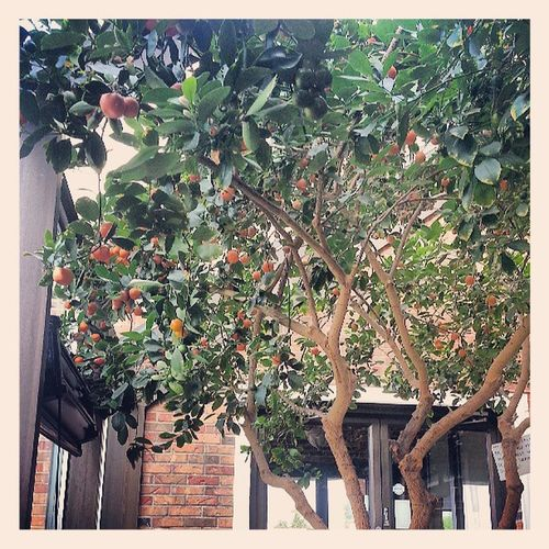 I am waiting on my order to go...as i have to fight traffic home...so- i am admiring this real Calamondin Orange tree growing inside! My Nanny loved Mothers Day Restaurant on Cermack! Chicago , Loyola  , Cermack , Eat