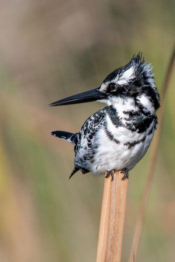 Birds Of Africa EyeEm Birds EyeEm Nature Lover Pied Kingfisher Animal Animal Themes Animal Wildlife Animals In The Wild Beak Beauty In Nature Bird Close-up Day Focus On Foreground Full Length Looking Nature No People One Animal Outdoors Perching Plant Vertebrate