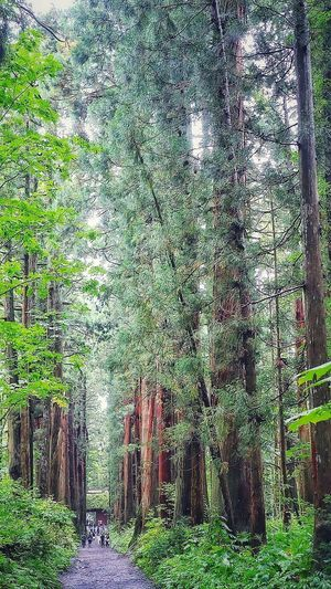 戸隠神社奥社 Ceder Tree Cedars Cedar 参道 戸隠神社 戸隠 Forest Togakushi Shrine Of Japan Shrine