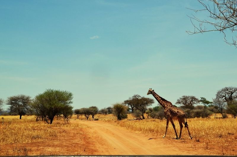 Giraffe Safari Tarangire Tanzania