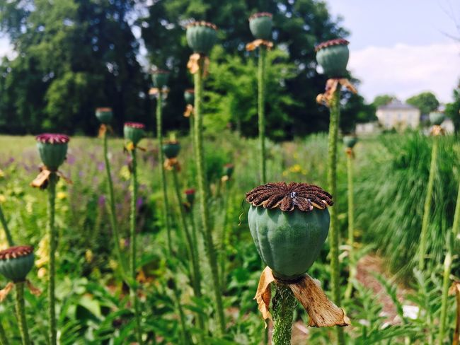 Poppy Flowers Growth Focus On Foreground Green Color Nature Day No People Plant Beauty In Nature Outdoors Close-up Tree Freshness
