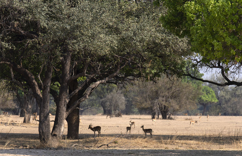 View of impalas on landscape
