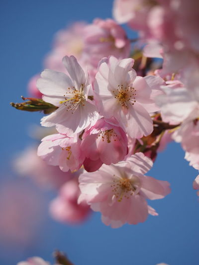 Flower Head Flower Water Tree Springtime Beauty Pink Color Blue Blossom Petal Cherry Blossom Blooming Fruit Tree Cherry Tree