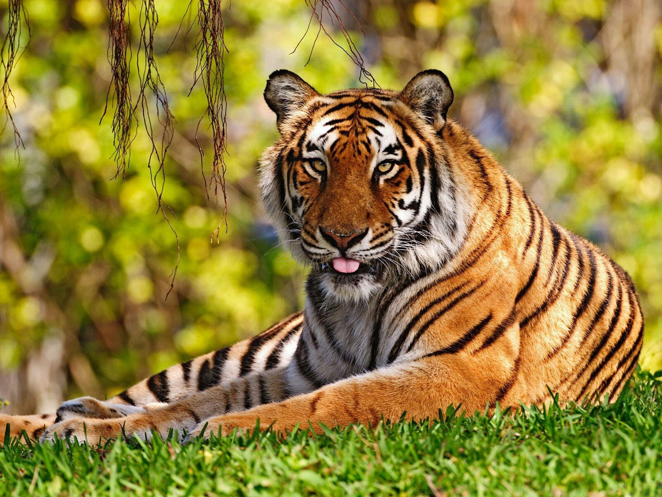 animal themes, one animal, tiger, mammal, animal markings, wildlife, animals in the wild, focus on foreground, big cat, animal head, safari animals, undomesticated cat, close-up, endangered species, natural pattern, leopard, outdoors, zoo, portrait, zoology