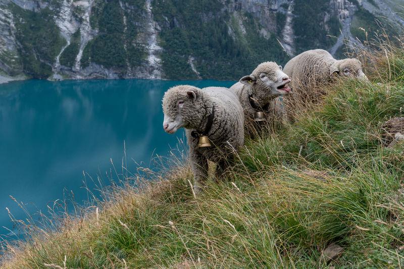 Sheep on grassy hill