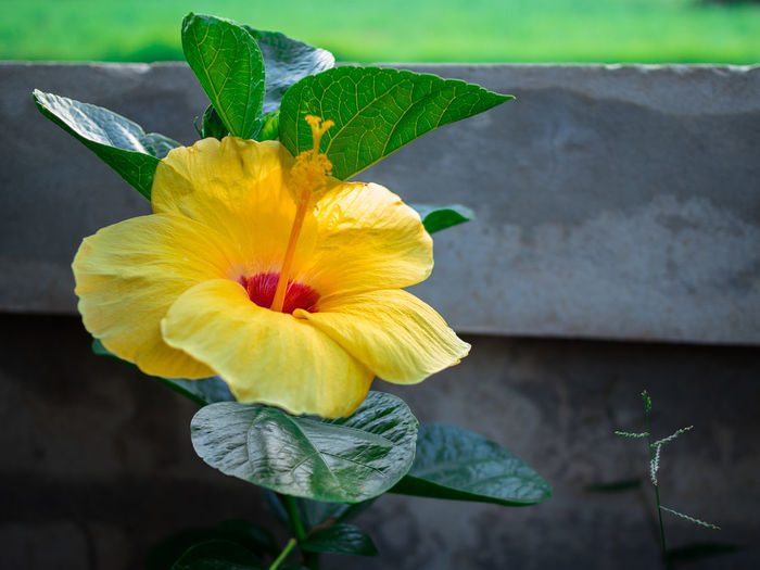 High angle close-up of hibiscus growing against wall