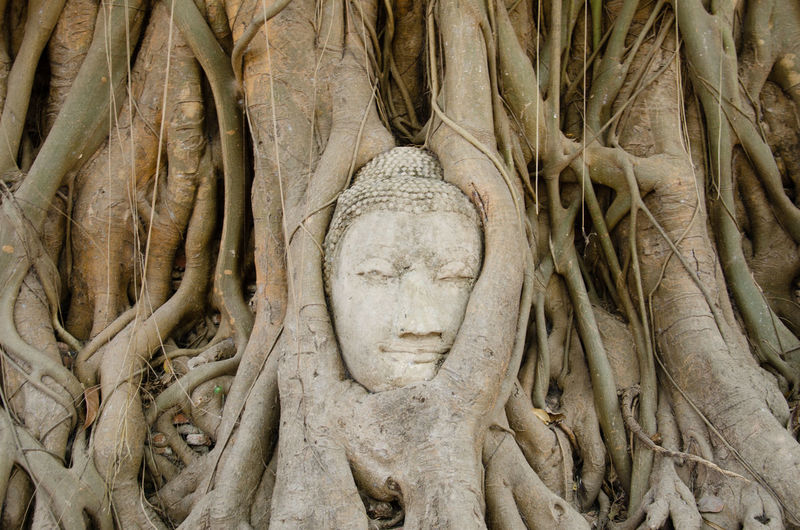 Ayutthaya Buddha Tree Nature Nature Wins Overgrown Thailand Tree Wat Mahathat Ancient Ancient Civilization Archaeology Art And Craft Belief Buddha Head Craft History No People Place Of Worship Religion Sculpture Spirituality Statue Strangler Fig Temple