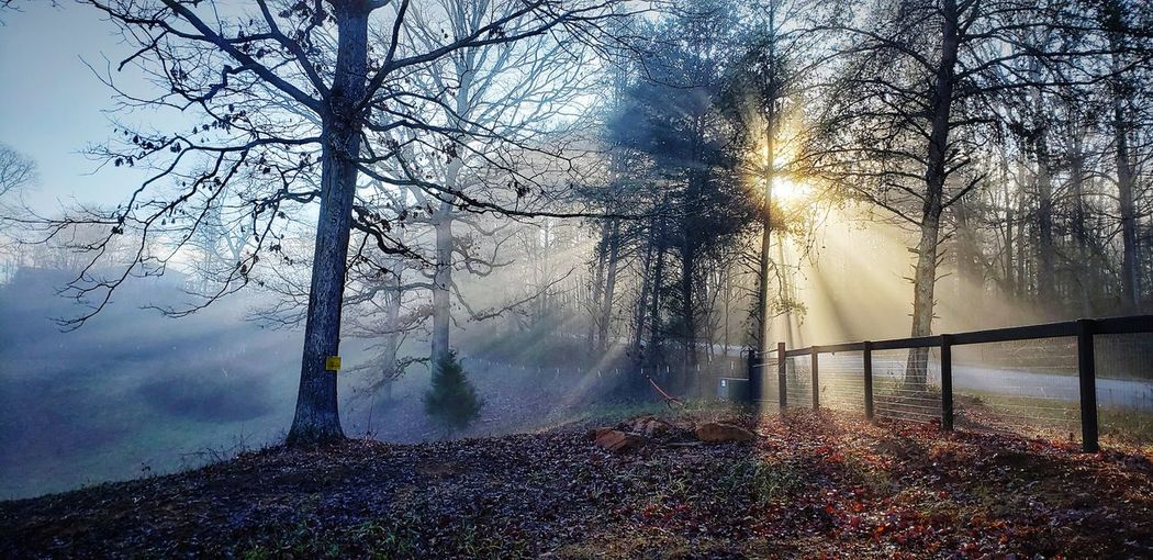 Sunlight streaming through bare trees during foggy weather