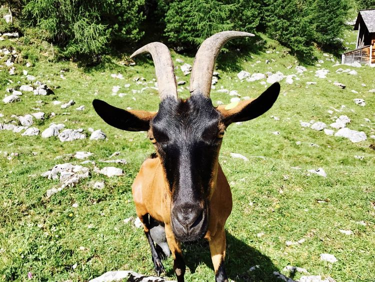 Dolomites, Italy Goat Hiking Horns Travel Trekking Adventure Animal In Nature Animal Themes Close-up Dolomiti Goat Horns Grass Italy Looking At Camera Mammal One Animal Outdoors Portrait