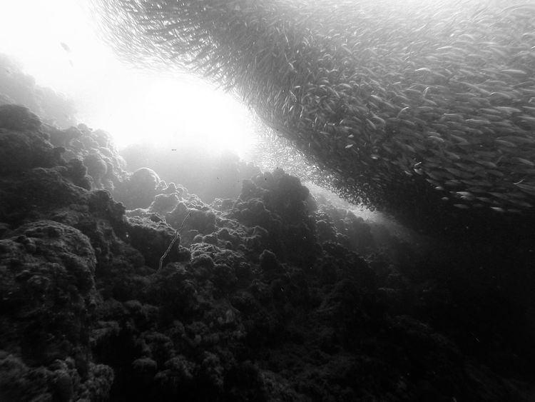 Giant school of sardines along the reef wall, Moalboal, Cebu (The Philippines) Animal Themes Animals In The Wild ASIA Atmospheric Mood Black & White Capture The Moment Exploring Light And Shadow Low Angle View Majestic Nature Nature No People Outdoors Philippines Sea Life Share Your Adventure Travel Travel Destinations Underwater Vacations