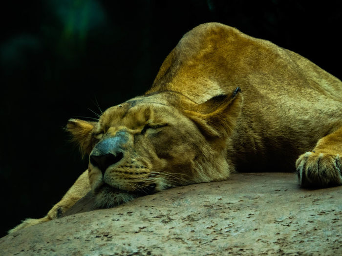 Close-up of lioness sleeping on rock