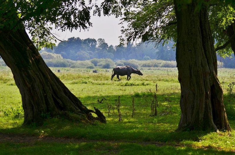 Bison Tree