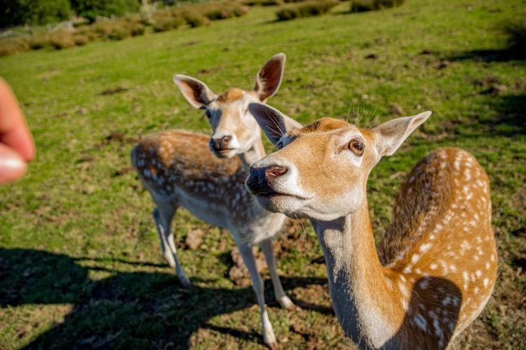 Close-up of deer on grass