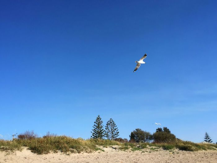 Free As A Bird .. Free Flying Bird Seagull Flying High Soaring Hovering Mid-air Freedom Clear Sky Blue Sky Outdoors Sunny Day Scenic Pine Tree Sandy Beach White Sands Breathtaking Breathing Space Life Of Freedom Life Is A Beach Summertime — in Shoalwater Bay Western Australia